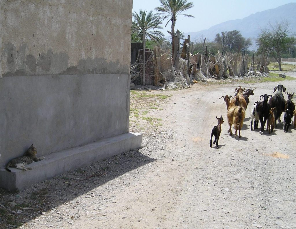 Omani cat and goats
